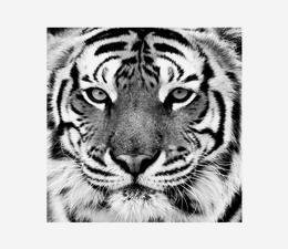 Tiger_Close_Up