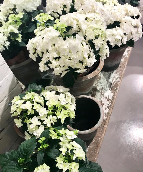 Spring_Hydrangeas_AM_White